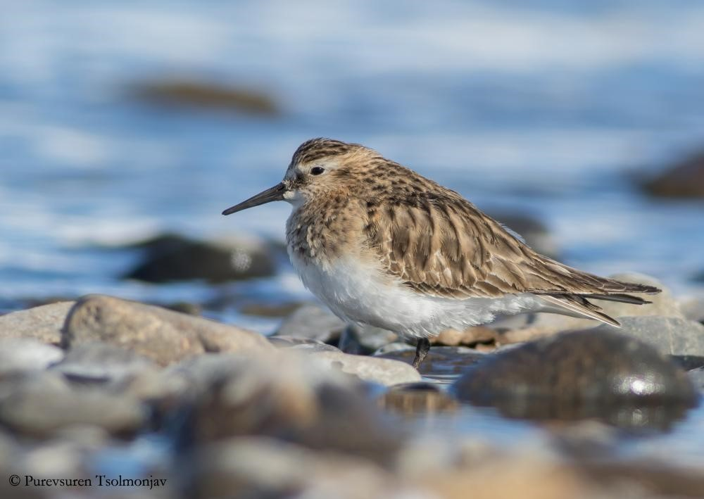 First Baird's Sandpiper for Mongolia in February 2017 © Purevsuren Tsolmonjav